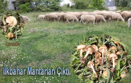 İlkbahar Mantarları çıktı.