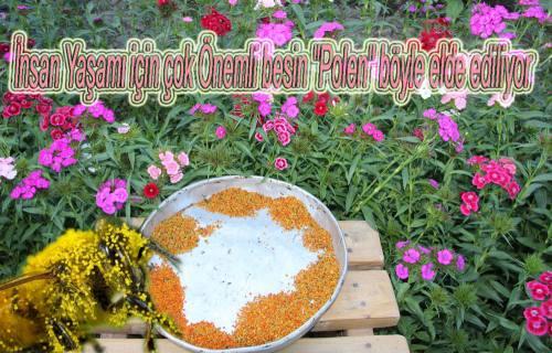 İşte İnsan hayatı için çok önemli Çiçek Tozları (Polen)
