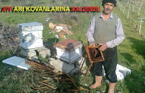 Pamukova da Ayı arılara dadandı.