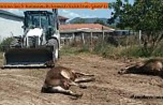 Kurbanlıkları Elektrik Çarptı, Dokuz Tosun Telef...