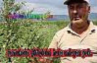 Pamukova çiftçisi Kinoa yetiştirmeye başladı....