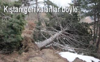 Kara kış ormanlarda çok sayıda ağacı kökünden devirdi.
