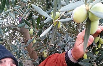 Zeytinler yeşil kaldı