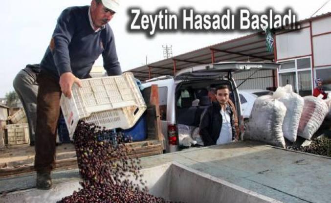 Pamukovalı Zeytin Üreticileri soğuk hava öncesi erken hasada yöneldi.